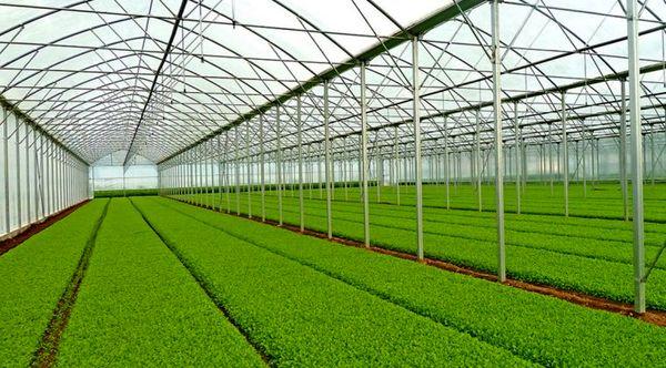 شهرستان دشتی رتبه نخست تولید انواع نشاء را در کشور دارد