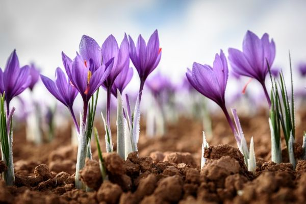 توسعه 15 هکتاری مزارع زعفران در شهرستان کوهبنان