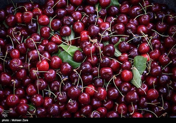 امسال 29 هزار تن آلبالو و گیلاس از باغات خوی برداشت میشود