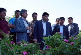 آذربایجان شرقی با ۱۰ درصد سطح زیر کشت باغات گل محمدی ، مقام پنجم کشور را دارا است
