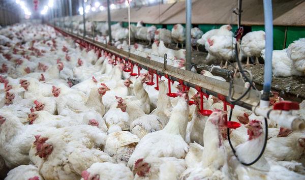 زنجیره تولید مرغ در ایلام تکمیل شد