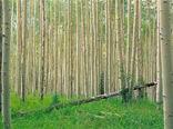 شناسایی 32 هکتار اراضی مستعد سوادکوه شمالی برای زراعت چوب