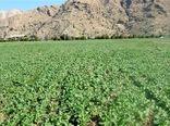 1304هکتار از اراضی شهرستان البرز به کشت کلزا اختصاص یافت