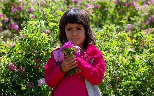 برداشت گلمحمدی - چلیچه