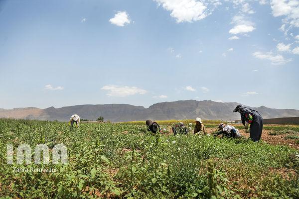 نرخ ارز صادرات گیاهان دارویی را باصرفه کرده است