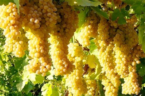 راه اندازی خط تولید کنسانتره نیاز اساسی انگور خراسانشمالی