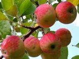 تولید سیب پاییزه استان اصفهان افزایش یافت