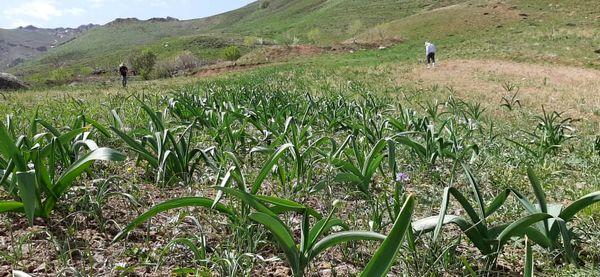 توسعه کشت گیاه موسیر در ۱۰ هکتار از اراضی کشاورزی آوج