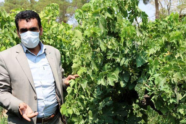 کاهش ۳۵ درصدی محصول انگور در مروست شهرستان خاتم
