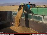 ۱۱ میلیون تن  گندم در کشور خریداری میشود