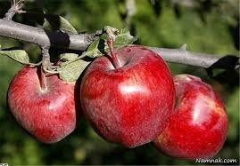 کاهش تولید سیب باغی