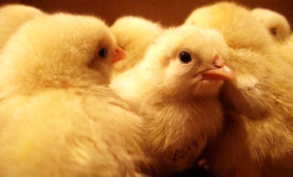 یک میلیون و 434 هزار قطعه جوجهریزی در مرغداریهای چهارمحال و بختیاری انجام شد