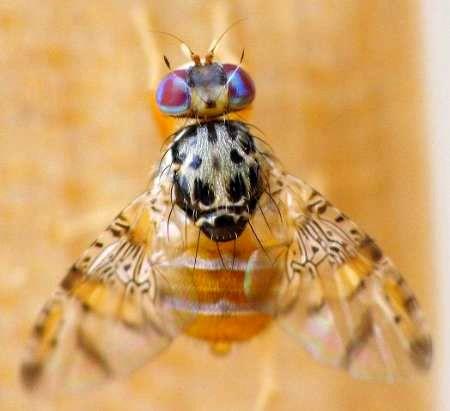 ردیابی مگس مدیترانهای در باغهای مرکبات