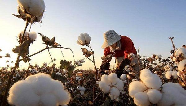 نمایشگاه عکس پنبه در وزارت جهاد کشاورزی افتتاح میشود