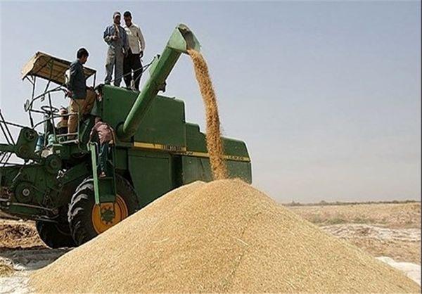 پیشبینی خرید ۵۰ هزار تن گندم از کشاورزان