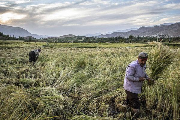 سطح پوشش بیمه محصولات کشاورزی به زیر ۲۰ درصد رسیده است