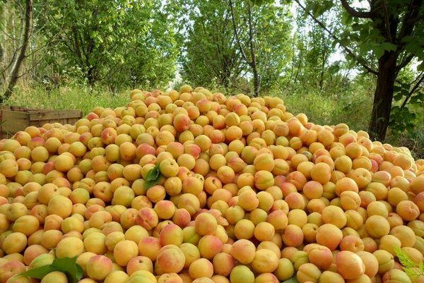 برداشت زردآلو در سیستان وبلوچستان آغاز شد