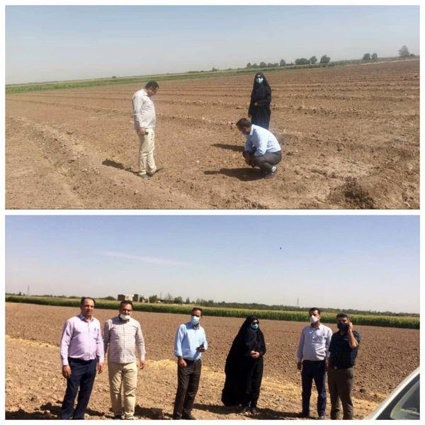 بازدید میدانی از روند کشت و وضعیت مزارع کلزا در شهرستان قزوین