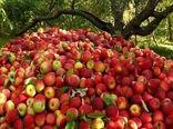 برداشت سیب - سمیرم