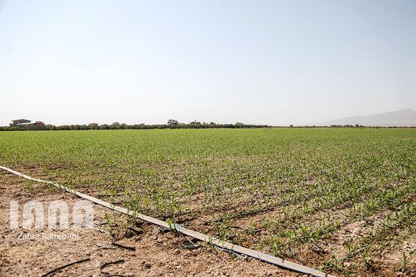 70  هکتار از اراضی کشاورزی گندم و جو در دامغان بیمه شده است