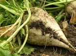 کشت چغندرقند پاییزه در سطح 27 هزار هکتار از مزارع