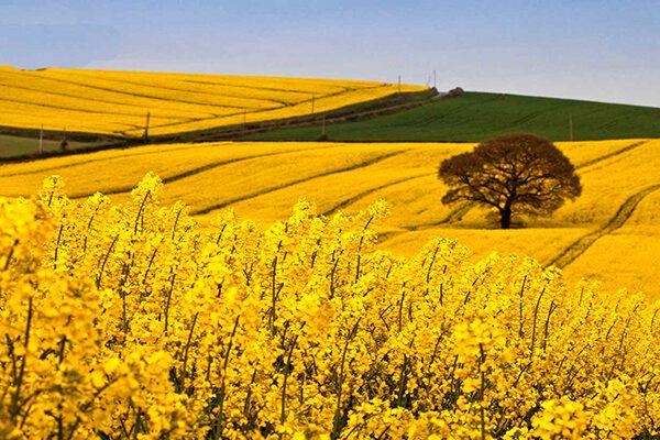 ۴۰ مرکز خرید گندم و کلزا در استان فعال شده است