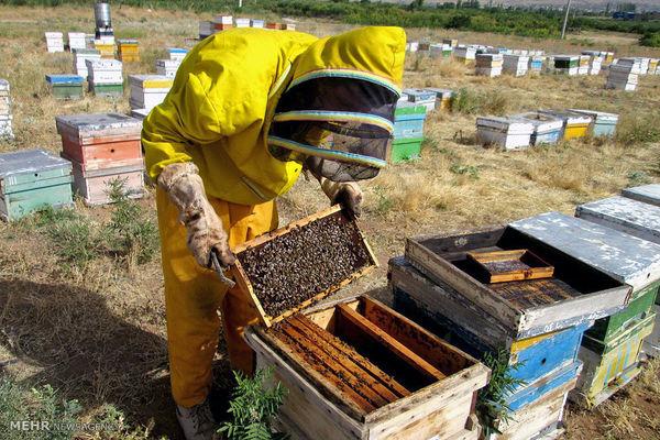 اصلاح نژاد زنبور عسل در فارس