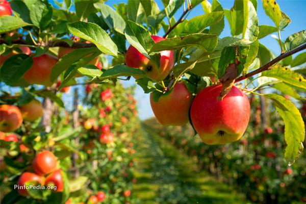 قیمت خرید توافقی سیب صنعتی ۱۵۰۰ تومان تعیین شد