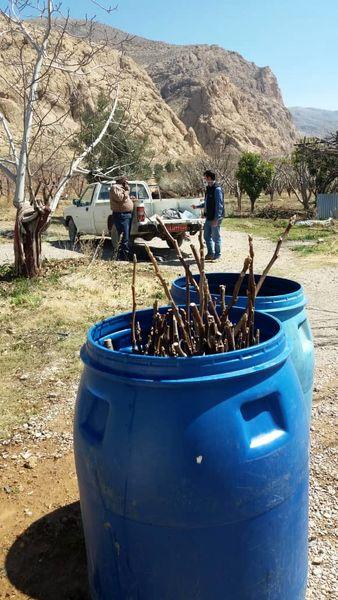اصلاح باغ های گردوی مرودشت با استفاده از پیوندک