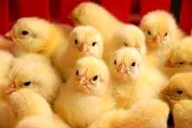 رشد ۲۱ درصدی جوجه ریزی واحد های تولید مرغ گوشتی نسبت به مدت مشابه سال قبل