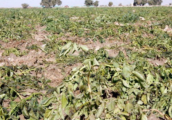 سرما به اراضی کشاورزی شهرستان شیروان خسارت زد