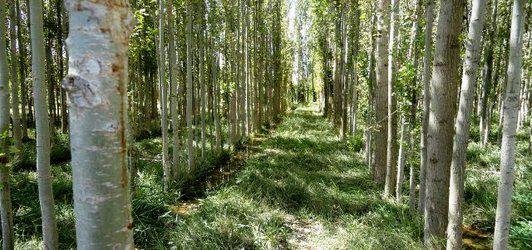 اجرای طرحهای بیمه زراعت چوب و صنوبرکاری درچهارمحال و بختیاری
