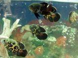 هفت واحد فعال پرورش ماهی زینتی در شهرستان البرز فعال است