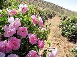 تولید بیش از 60 تن گل محمدی در سپیدان