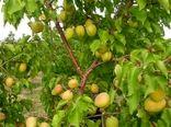افزایش 20درصدی تولید زردآلو در استان تهران