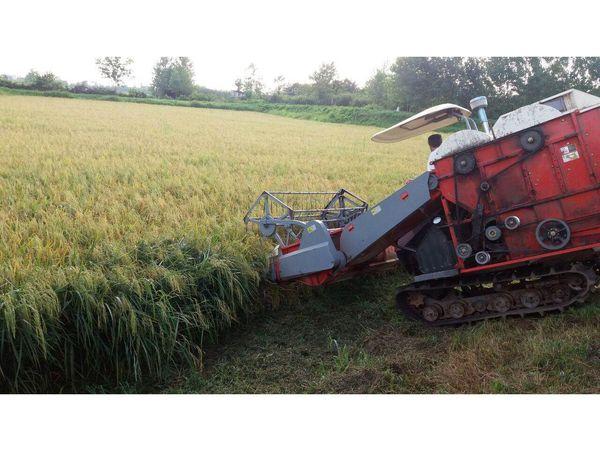 برداشت مکانیزه 45 هزار هکتاری برنج در بابل