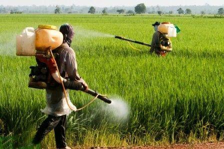سمپاشی مزارع علیه پوره سن ضروریست