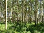 توزیع نهال برای توسعه زراعت چوب در خراسان شمالی