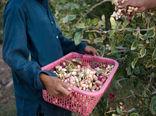 بیش از ۴ هزار و ۲۰۰ تن پسته خشک در شهرستان بوئین زهرا تولید و به بازار عرضه میشود
