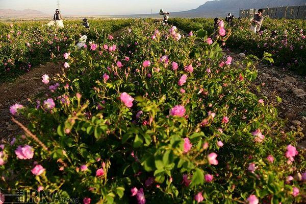 افزایش 15 درصدی کشت گل محمدی در شهرستان خوی