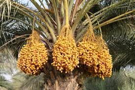 آغاز برداشت خارک از نخیلات استان بوشهر