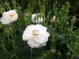 باغداران شفتی کار برداشت گل محمدی را از باغهای خود آغاز کردند