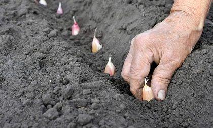 آغاز کاشت سیر در مزارع شهرستان طارم