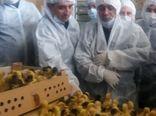 ساماندهی واحدهای پرورش دهنده اردک در ورامین