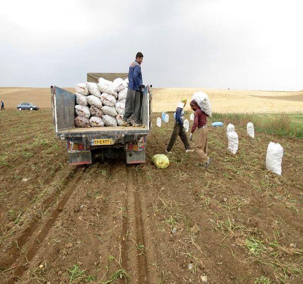 کردستان رتبه چهارم تولید محصول سیب زمینی در کشور را دارد