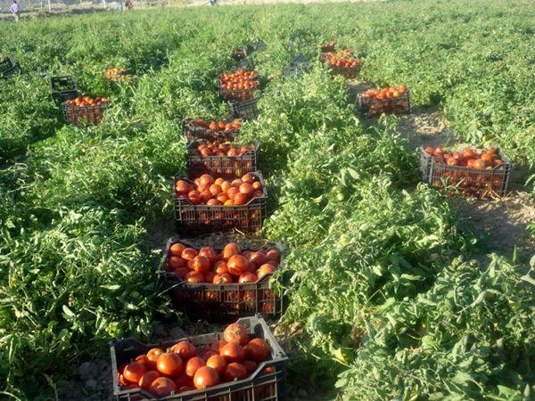 انتظاراتی که برای کاهش کشت گوجه فرنگی در خراسان شمالی برآورده نشد