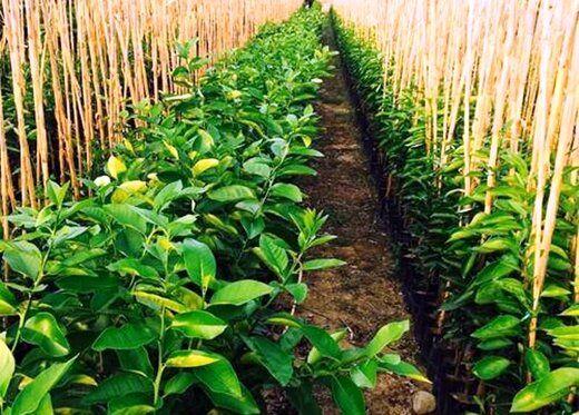 افزایش 46 درصدی تولید نهال در کشور