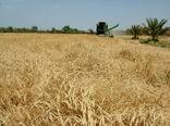 با قطع بارندگی در سیستان وبلوچستان کاربرداشت گندم آغاز میشود