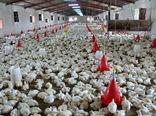بیش از 11 هزارتن گوشت مرغ در سیستان و بلوچستان تولید شد