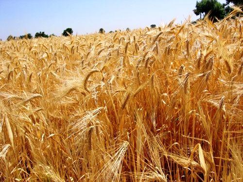 طرح افزایش عملکرد گندم در مزارع کشاورزی استان قزوین اجرا می شود